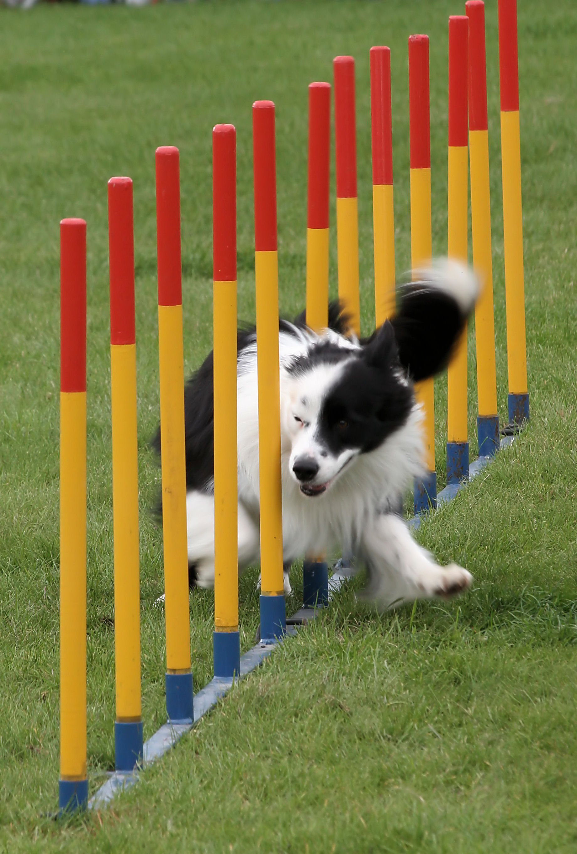 Border_collie_weave_poles